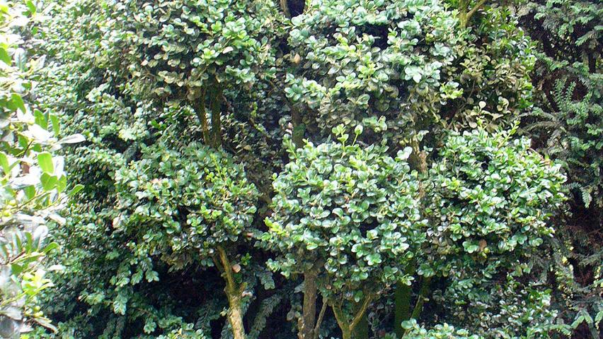 buxus sempervirens 39 rotundifolia 39 treeebb online tree. Black Bedroom Furniture Sets. Home Design Ideas