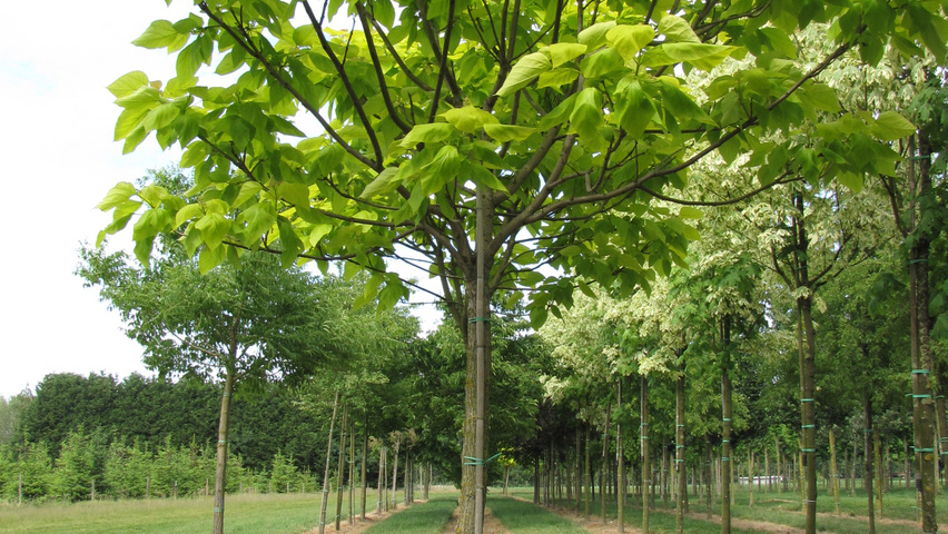 catalpa bignonioides 39 aurea 39 treeebb online tree. Black Bedroom Furniture Sets. Home Design Ideas