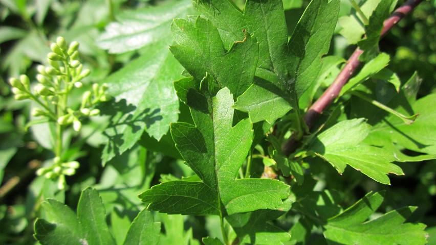 Crataegus monogyna | TreeEbb | Online tree-finding tool ...