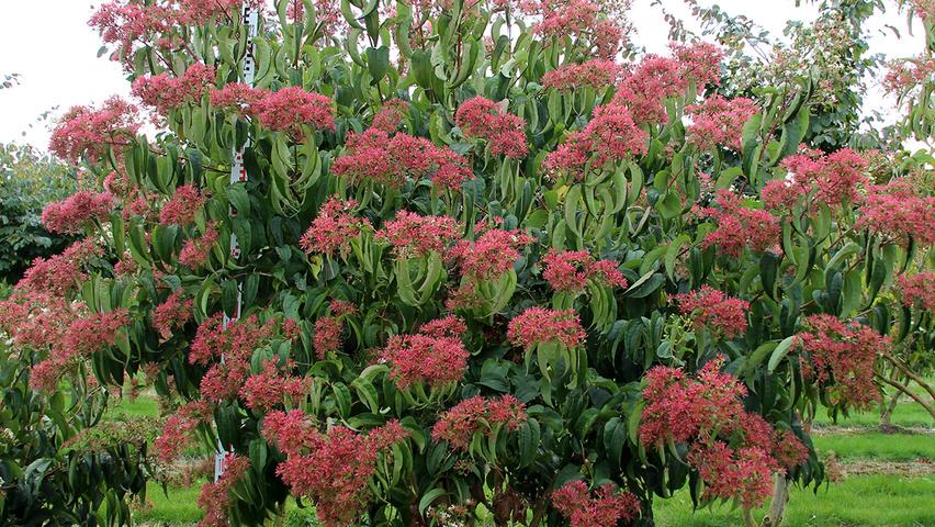 Heptacodium miconioides | TreeEbb