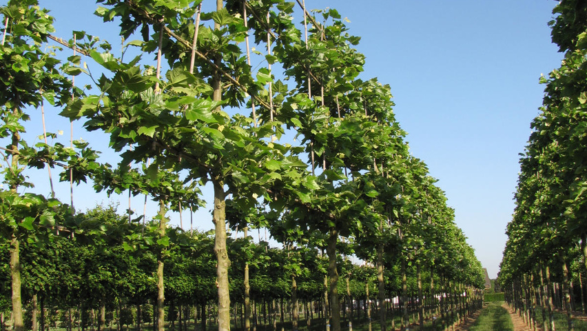 Platanus X Hispanica Treeebb Online Tree Finding Tool