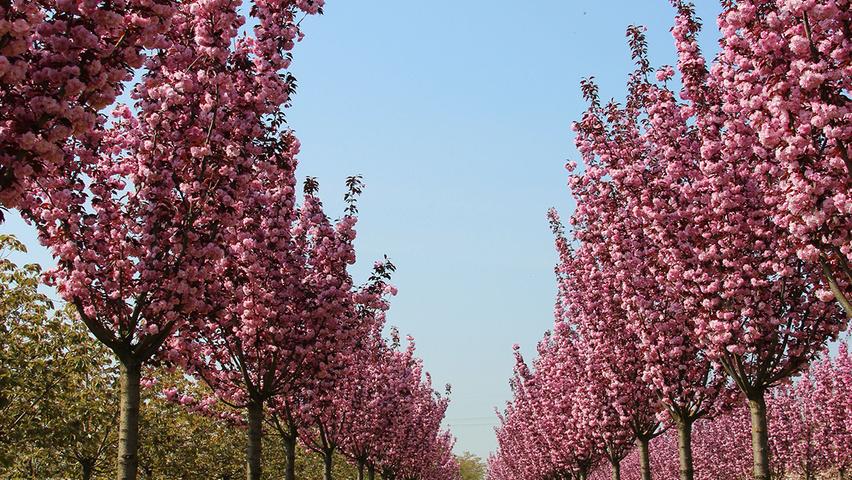 prunus serrulata royal burgundy treeebb online tree