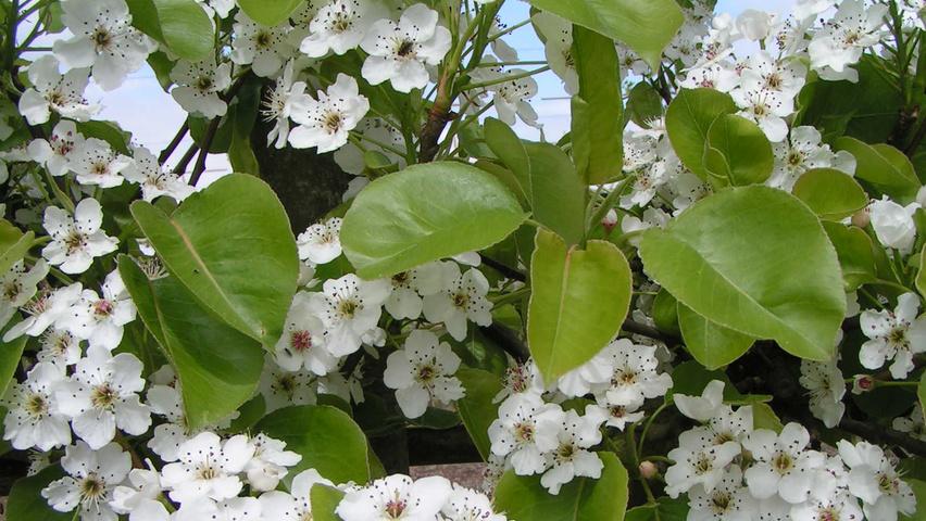 Pyrus Calleryana Chanticleer Treeebb Online Tree