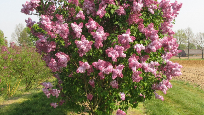 Syringa Vulgaris Charles Joly Treeebb Online Tree