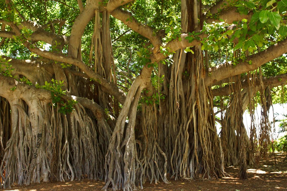 Ficus Religiosa Trees