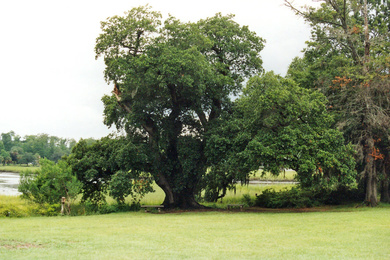 Oldest Oak