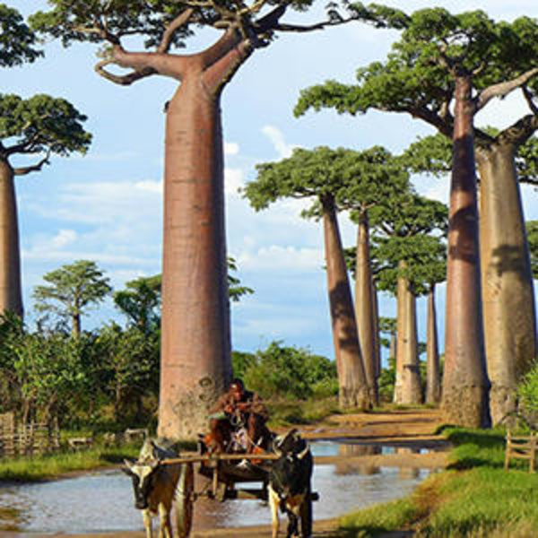 Trees of the world: extraordinary African tree with a strange appearance