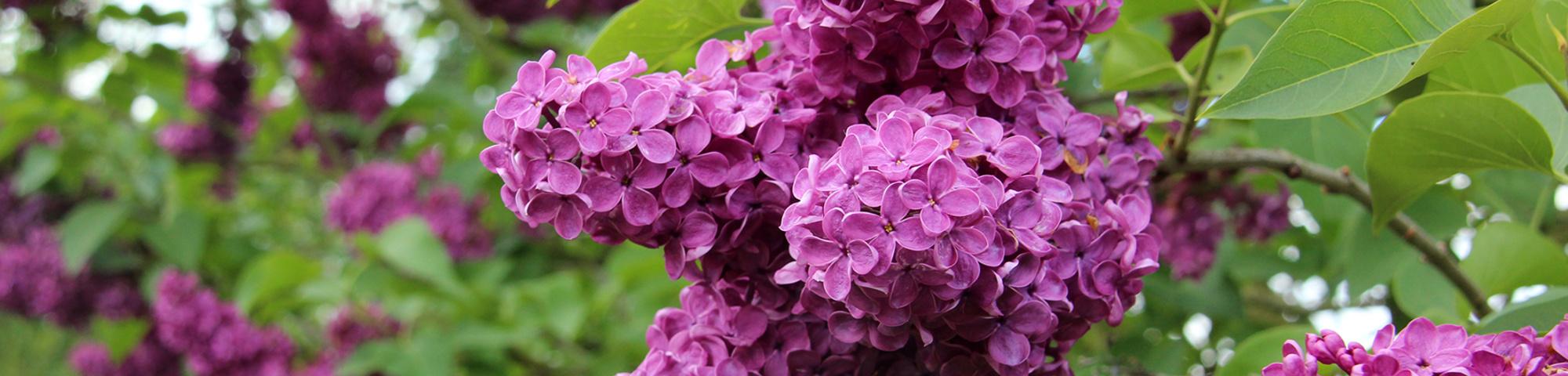 El Arbol de la Vida y el Gran Polillón - Página 2 Syringa-vulgaris-charles-joly-flowers-1