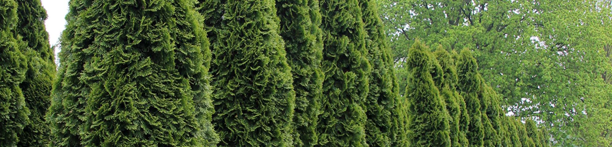 thuja occidentalis 39 smaragd 39 treeebb baumsuchmaschine. Black Bedroom Furniture Sets. Home Design Ideas