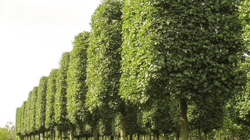 Acer Campestre Elsrijk Treeebb Online Tree Finding Tool