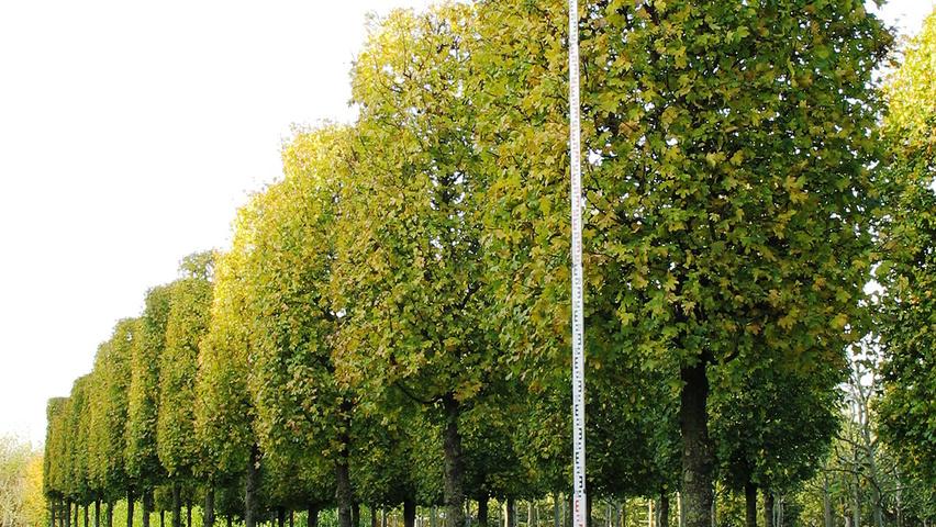 acer campestre 39 elsrijk 39 treeebb online tree finding tool ebben nurseries. Black Bedroom Furniture Sets. Home Design Ideas