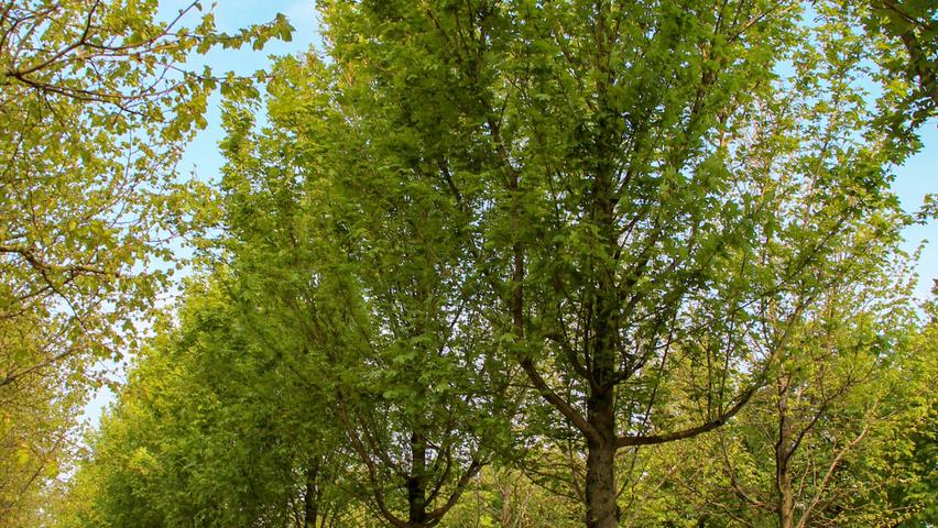 Acer Campestre Huibers Elegant Treeebb Online Tree Finding