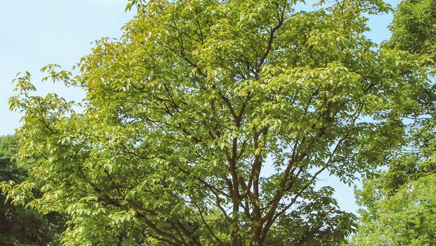 Acer Davidii George Forrest Treeebb Online Tree Finding Tool