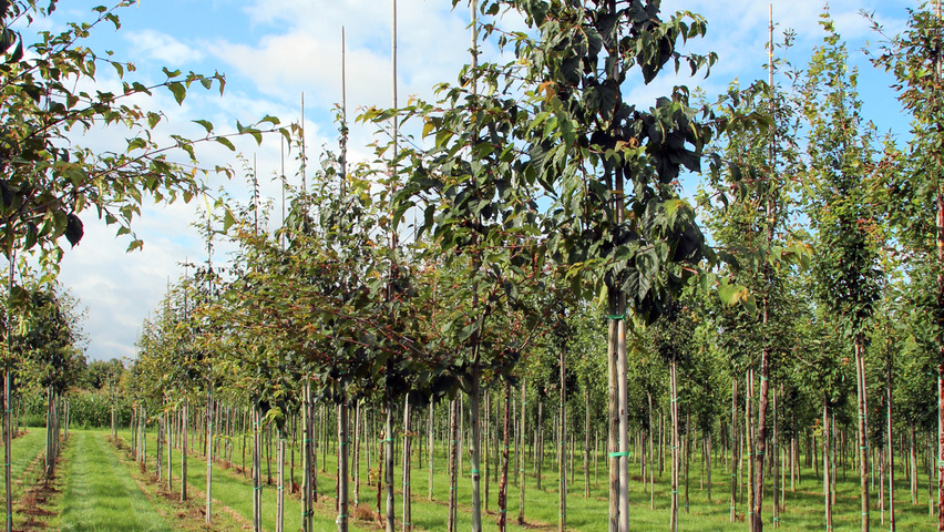 Acer Davidii Subsp Grosseri Treeebb Online Tree Finding Tool