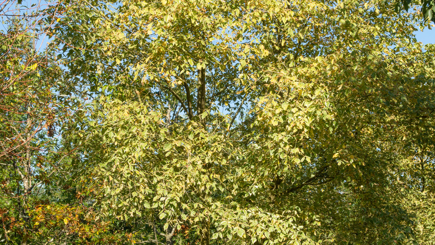 Acer Negundo Variegatum Treeebb Online Tree Finding Tool