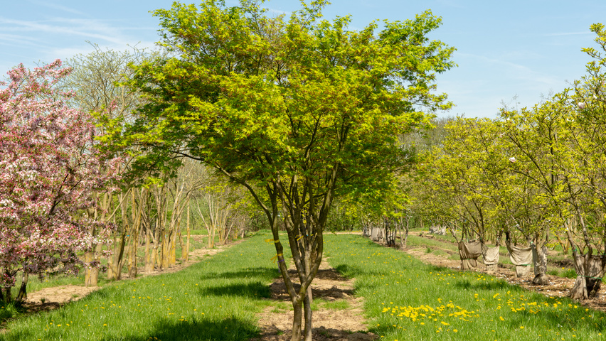 Acer Palmatum Treeebb Online Tree Finding Tool Ebben Nurseries