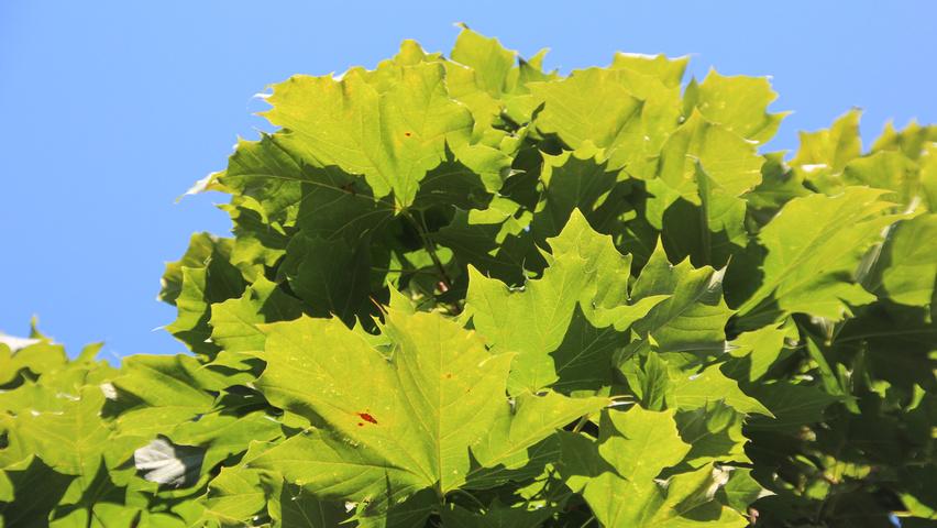 Acer Platanoides Columnare Treeebb Online Tree Finding Tool