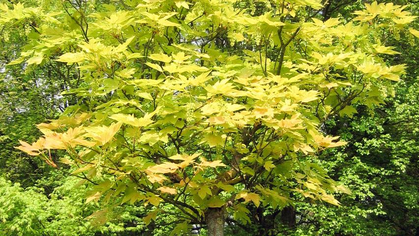 Acer Pseudoplatanus Prinz Handjery Treeebb Online Tree Finding