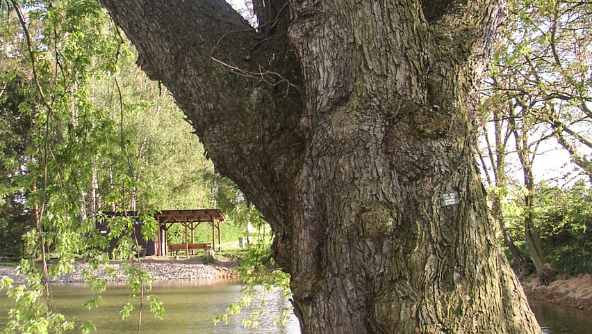 Acer Saccharinum Treeebb Online Tree Finding Tool Ebben Nurseries