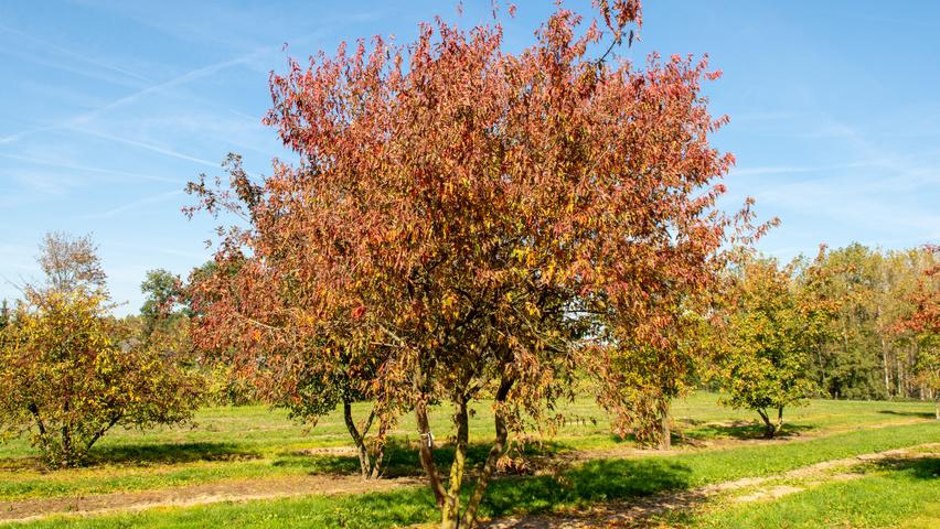 Acer Tataricum Subsp Ginnala Treeebb Online Tree Finding Tool