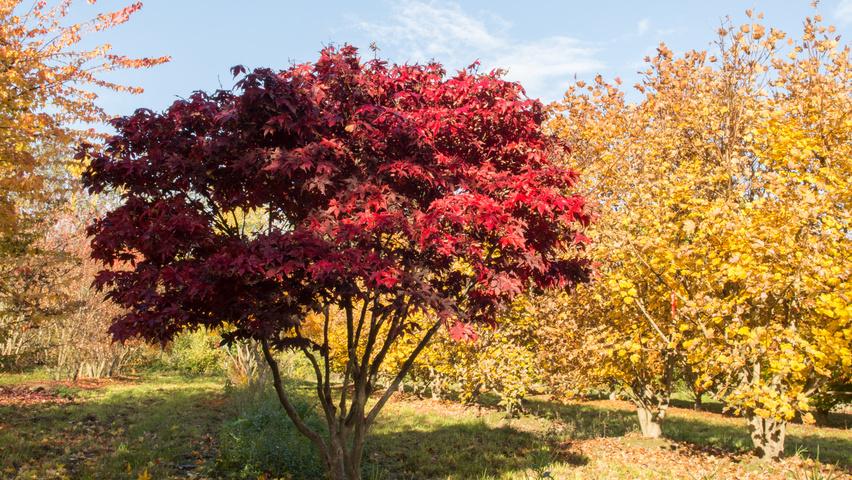 Acer Palmatum 212 Sakazuki Treeebb Online Tree Finding