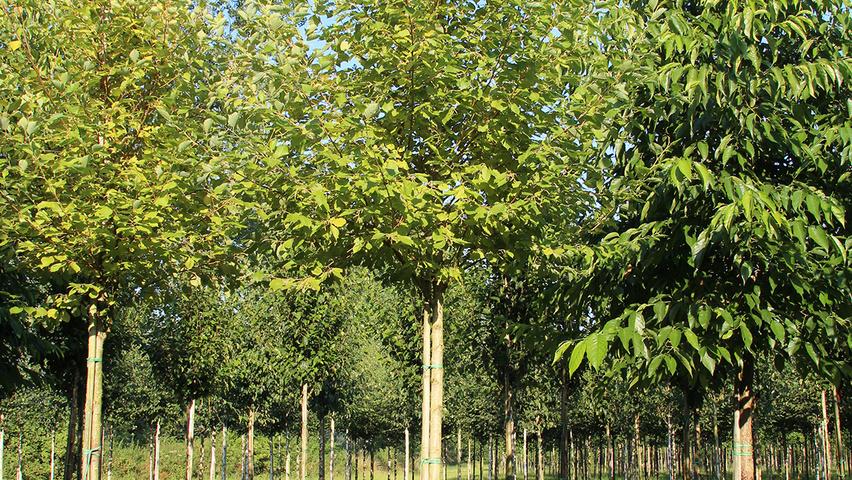 Alnus Incana Aurea Standard Tree