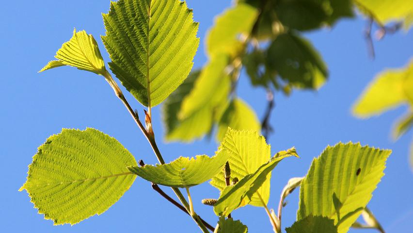Alnus Incana Aurea Leaves