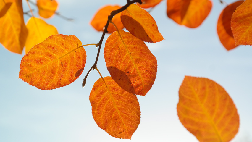 Amelanchier lamarckii autumn leaves