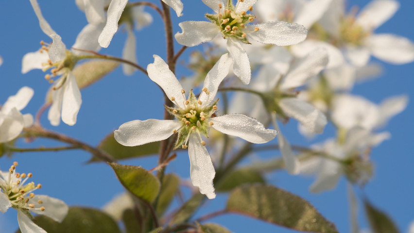 Amelanchier lamarckii flowers