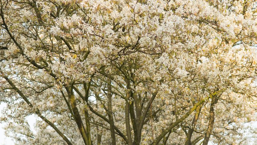Amelanchier Lamarckii Flowers