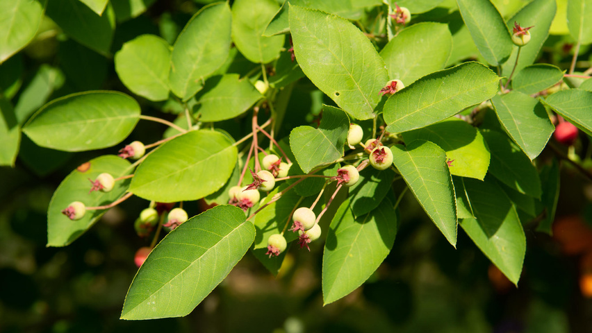 Amelanchier lamarckii fruits