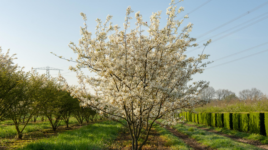 Amelanchier lamarckii multi-stem umbrella