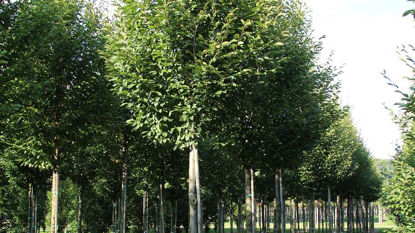 carpinus betulus 39 fastigiata 39 treeebb online. Black Bedroom Furniture Sets. Home Design Ideas