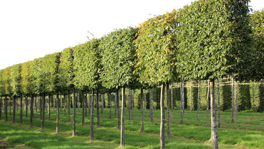 carpinus betulus treeebb online tree finding tool ebben nurseries. Black Bedroom Furniture Sets. Home Design Ideas