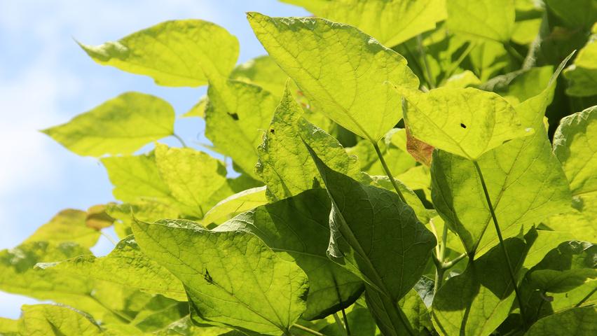 catalpa bignonioides 39 nana 39 treeebb online tree. Black Bedroom Furniture Sets. Home Design Ideas