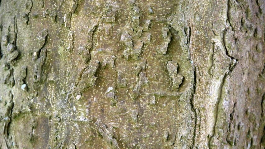 Celtis Occidentalis Bark