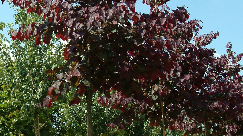 cercis canadensis 39 forest pansy 39 treeebb. Black Bedroom Furniture Sets. Home Design Ideas