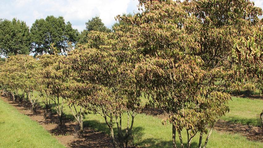 Cornus florida 39 rainbow 39 treeebb online tree finding - Cornus florida rainbow ...