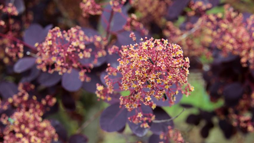 cotinus coggygria 39 royal purple 39 treeebb le moteur de. Black Bedroom Furniture Sets. Home Design Ideas