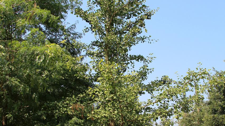 ginkgo biloba 39 saratoga 39 treeebb le moteur de recherche sur les arbres p pini res ebben. Black Bedroom Furniture Sets. Home Design Ideas