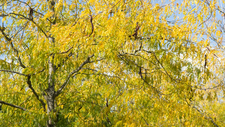 Gleditsia triacanthos 'Skyline' autumn leaves