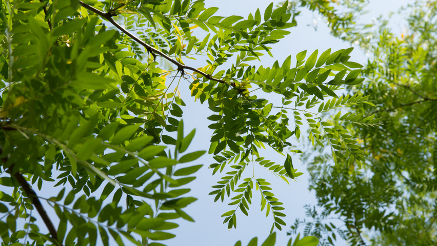 Gleditsia triacanthos 'Skyline' leaves