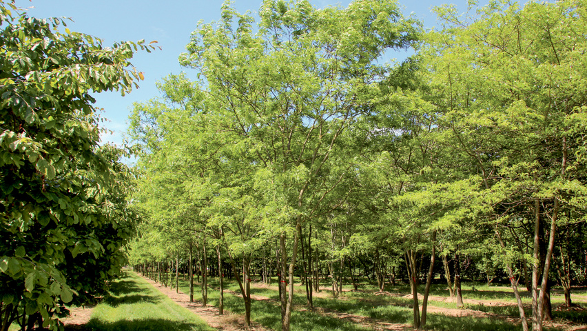 Gleditsia triacanthos 'Skyline' multi-stem umbrella