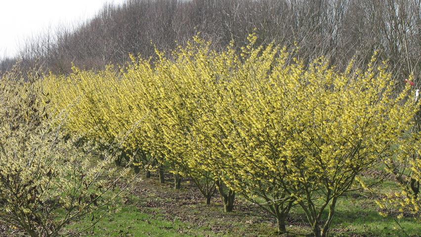Hamamelis Mollis Treeebb Online Tree Finding Tool Ebben