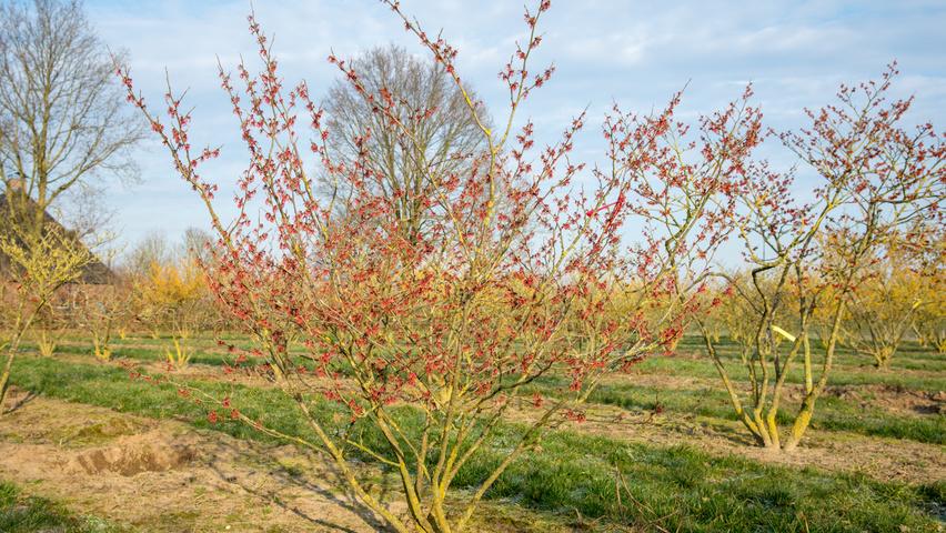 Hamamelis x intermedia 'Diane' | TreeEbb | Online tree