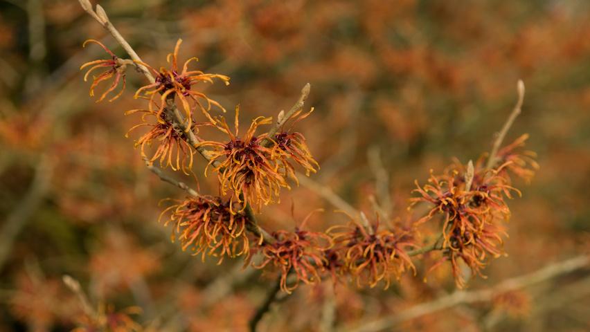 Hamamelis x intermedia 'Jelena' | TreeEbb | Online tree