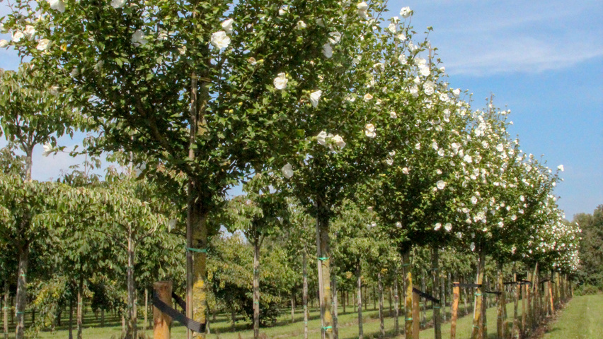 Hibiscus Syriacus Notwoodtwo Treeebb Online Tree Finding Tool