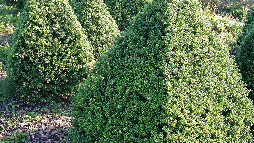 ilex crenata 39 convexa 39 treeebb online tree finding. Black Bedroom Furniture Sets. Home Design Ideas