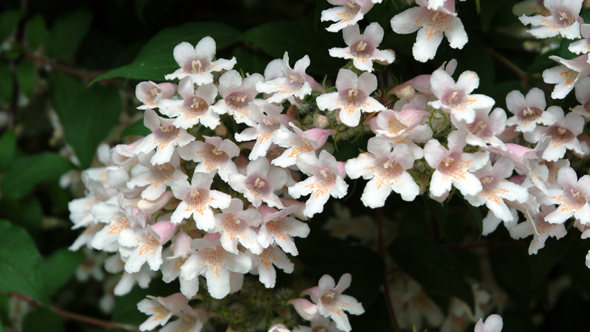 Kolkwitzia Amabilis Pink Cloud Treeebb Online Tree Finding