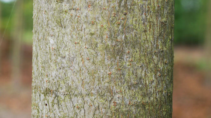 Liquidambar Styraciflua Bark